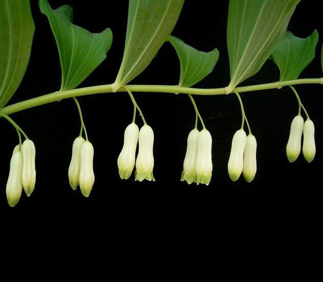 kokorik-mnohokvety